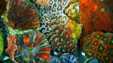Bright stars ... the fluorescent coral.