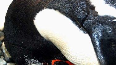 Feeding time for Sea World's new baby penguin.
