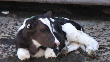 Milk of cruelty ... bobby calf.