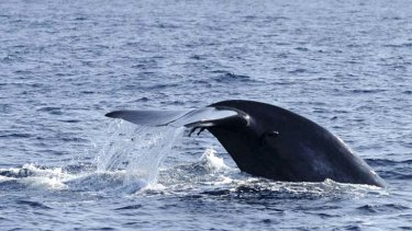 Defence technology … scientists are using sonobuoys to help pinpoint the songs of the blue whale, whose habits are still a mystery.