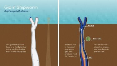 The giant shipworm.
