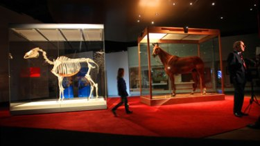 Phar Lap's skeleton and hide are on display at the Melbourne Museum.