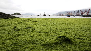 The coastline is seen covered by algae in Lianyungang, Jiangsu province, China.