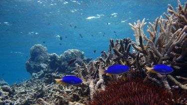 Damselfish in a degraded habitat in the northern part of the Great Barrier Reef.