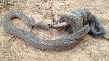 A snake-eat-snake world.... Gavin Fletcher took this photo at Stranger Pond in Bonython.