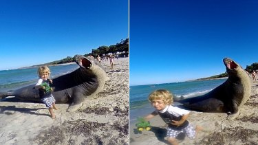 A child makes tracks after getting an elephant seal-sized fright on Meelup Beach, in WA's South West, on Monday.