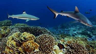 Grey reef shark and blacktip shark hovering over pristine coral reef.