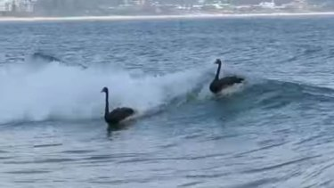 Black swans surfing at Kirra beach