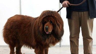 China's million-dollar 'lion dogs'