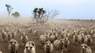 Lightning Ridge sheep farm, last November.