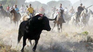 Horsemen run behind the bull during the Toro de la Vega festival.