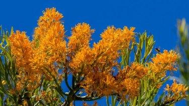West Australian Christmas Tree Blooms In Cranbourne