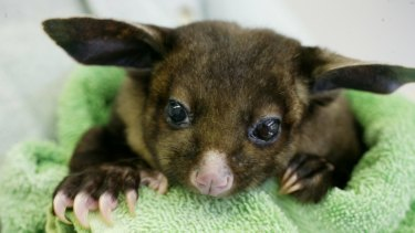 A yellow-bellied glider.