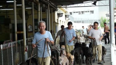Greyhounds prepare to race in Macau, where they are put down if they don't run a place in five starts.