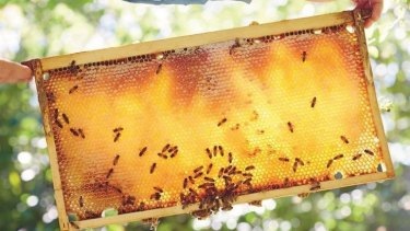 Bees at work in a backyard hive.