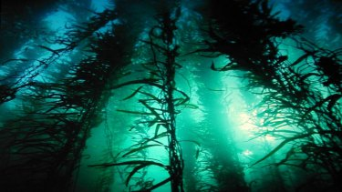 Giant kelp in the sea off Tasmania.