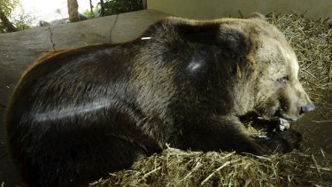 Darkle, the European Brown Bear, settles into her straw bed at the Jamala Lodge.