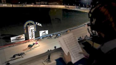 Preparation concerns: A Thursday night race meet at Dapto Greyhound Racing Club.