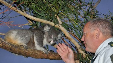 DSE Wildlife Officer Stan Williams with a koala rescued from a wildlife shelter where it was living without food.