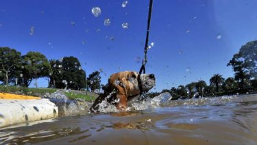 Roger the dog takes a swim in the Maribyrnong River at  Maribyrnong.