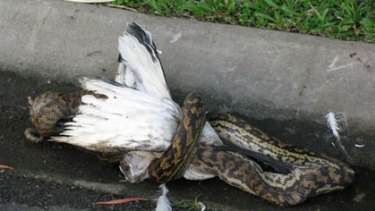 More than a mouthful ... the snake attempts to devour an ibis whole.