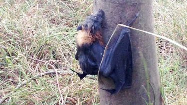 A fruitbat clings to a tree in Yarra Bend Park.