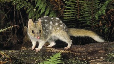 Quolls are being conditioned to avoid consuming cane toads.
