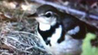 Forest wagtail spotted thousands of kms from its tropical home.
