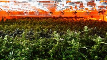 Plants growing at a medical marijuana dispensary in the USA.