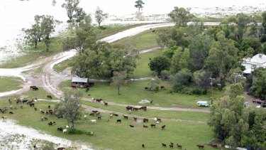 Flood-affected livestock graze on a patch of high ground near the town of Moree.