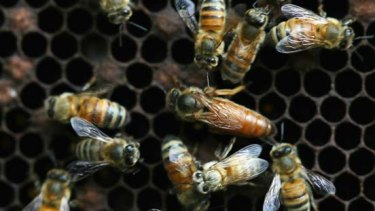 Suspected: imported honeybees from Australia.