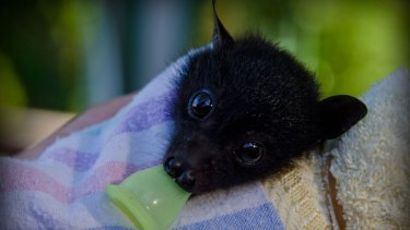 A young, black flying fox orphaned during the mass die-off in southeast Queensland this Summer.
