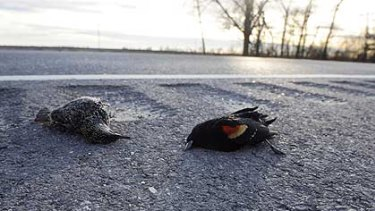 A dead starling, left, and red-winged blackbird lay along the side of the Morganza Highway in Louisiana.