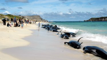 About 55 whales and dolphins have died at Hamelin Bay, 10km north of Augusta.