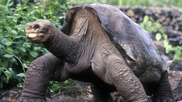 Lonesome George at his home on Santa Cruz Island.