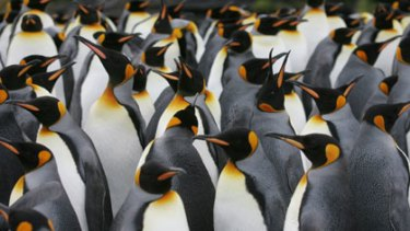 Bellwether birds ... king penguins on Possession Island in the Crozet archipelago are less helpful to climate science because of bands attached during studies.