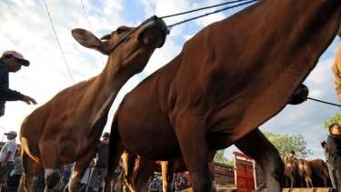 Investigations ... cattle are lined up for sale in Bali, Indonesia.