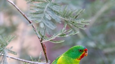 The swift parrot is also found in Melbourne.