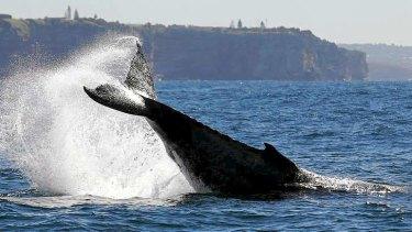 Humpback whales frolic off Bondi.