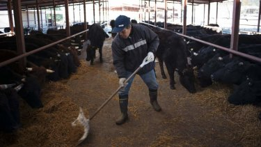 Defiant: Masami Yoshizawa feeds cattle at the Farm of Hope in Namie, Japan, in December.