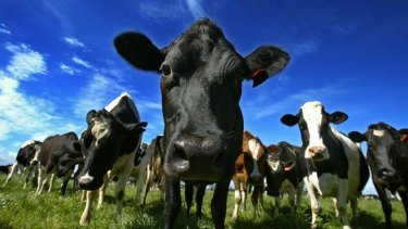 Dairy farmers should benefit from Murray Goulburn's plans.