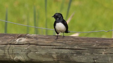 Wagtails attack bigger birds because of a Dreamtime grudge.