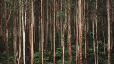 Environmentalists say logging in forests in Victoria's central highlands is threatening critically endangered species.