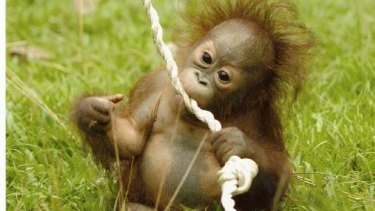 Orang-utans are endangered as forests are cleared for palm oil.