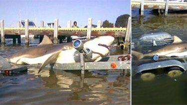 Not a hoax after all? The original 'hoax' picture (left) that has been doing the email rounds for several months, and another photo of the bronze whaler claimed to be caught about 15-20km off the coast of Lakes Entrance.