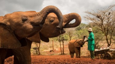 In the wild, elephants move across large areas and lead complex social lives.