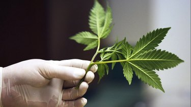 Perth-based medicinal marijuana company Phytotech Medical is on the rise.