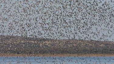 The birds can sense that rain has fallen thousands of kilometres away.