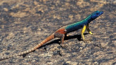 The male Augrabies flat lizard's throat reflects ultraviolet light, showing to his rivals how strong he is.