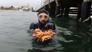 Cavalcade of stars: Stefan Howe displays a clutch of northern sea stars, the pesky thick-legged starfish infesting Port Phillip Bay, at the Kerferd Road pier in Albert Park.